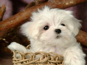 Maltese puppy in a basket