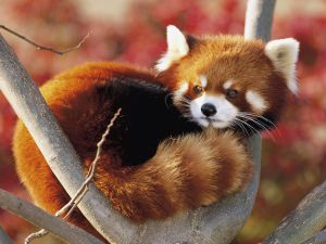 Red panda standing on a branch
