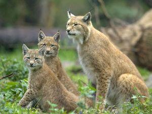 Family of lynx
