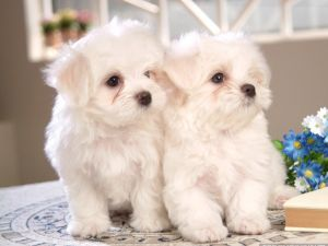 Two white Maltese breed puppies