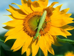 Praying mantis on a sunflower