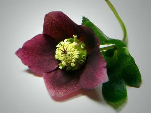 Christmas Rose purple color
