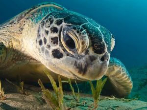 A closeup of a sea turtle