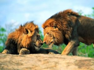 Two lions face to face