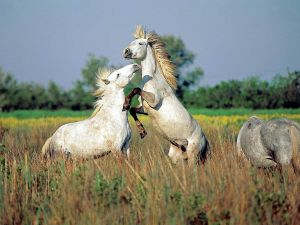Horses of Camargue breed