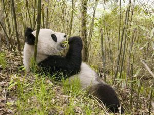A big panda bear eating bamboo
