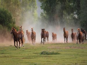 Wild horses trotting down the field
