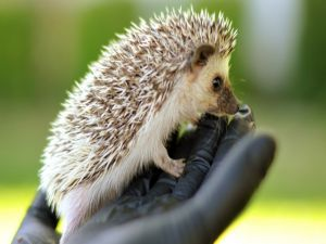 With a hedgehog in hand