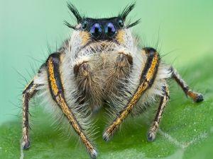 Phidippus insignarius, belonging to family Salticidae (jumping spiders)