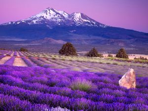 Lavender field at the foot of the mountain