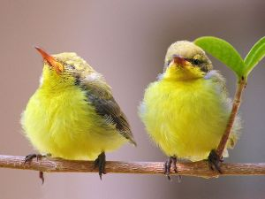 Yellow birds on the branch of a tree