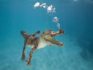 Crocodile diving