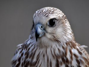 Intense gaze of a hawk