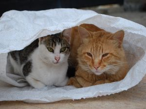 A couple of cats stuffed into a sack