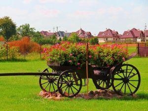 Cart with geraniums