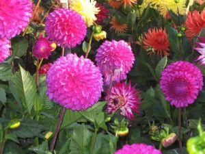 Dahlias of various colors