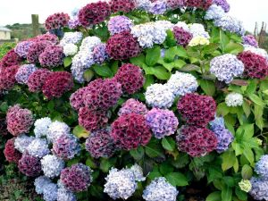 Nice and colorful hydrangea bush