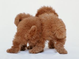 Two brown puppies back