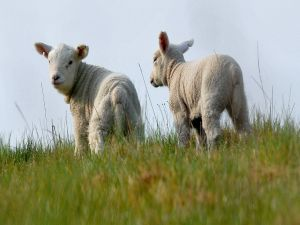 A pair of sheep on the grass