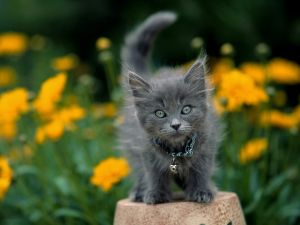 Gray kitten among flowers