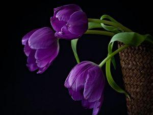Purple tulips in a basket