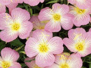 Pink evening primroses