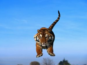 Tiger jumping under a blue sky