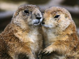 Couple of marmots