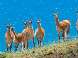 A group of llamas in the hills