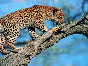 A leopard cub in a tree branch
