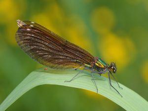 Damselfly (Calopteryx virgo)