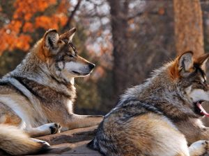 Two wolves sitting