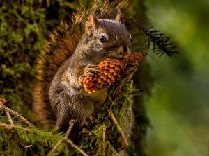 Squirrel with a pinecone