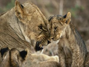 Lioness furious with her cubs