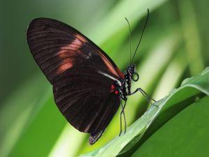 Heliconius melpomene (Postman Butterfly)