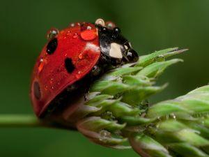 Ladybug wet