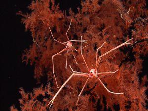 Giant sea spiders