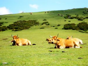 Cows on a green meadow