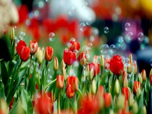 Soap bubbles over red tulips