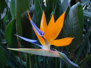 "Flower called ""Bird of Paradise"""