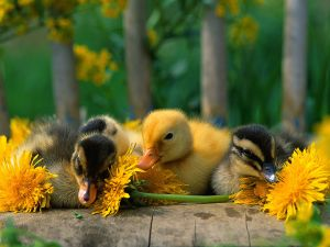 A yellow duckling among black ducklings
