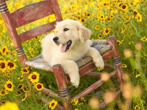A white dog in a chair among flowers