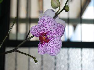 A beautiful white orchid with purple spots
