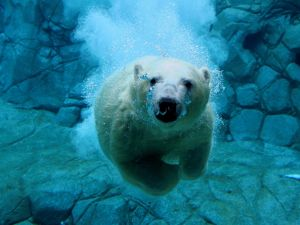 Diving, face to face, with a polar bear