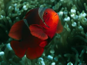 A red clownfish