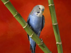 Blue budgerigar on a bamboo stick