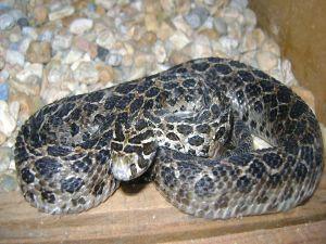 Pit viper mottled