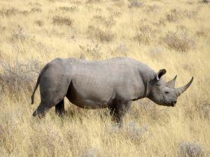 Black rhinoceros in Namibia