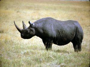 Black Rhinoceros, a species in serious danger of extinction