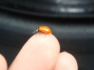 Ladybird (Coccinellidae) in a fingertip
